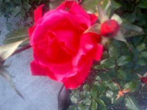 Austin rose -)